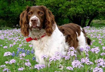 Springer Spaniel Male For Stud - Dog Breeders
