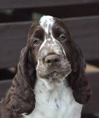 A K C English Springer Spanials - Dog and Puppy Pictures