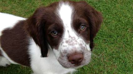 Springer Spaniel Male For Stud - Dog Breeders