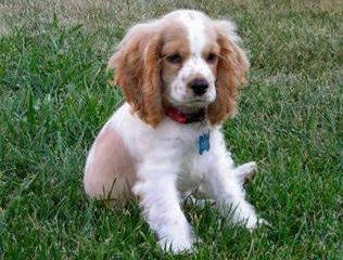 English Springers Spaniels - Dog Breeders