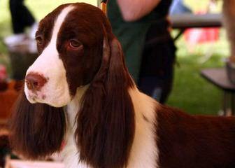 Nwspringers - Dog Breeders