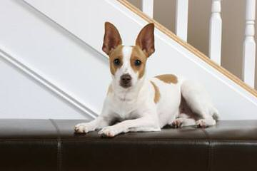 Cute And Cuddly Rat Terrier Puppies For Sale - Dog Breeders