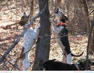 Mountain Treeing Feist Puppies - Dog and Puppy Pictures