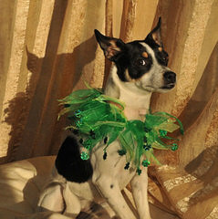 Cute And Cuddly Rat Terrier Puppies For Sale - Dog and Puppy Pictures