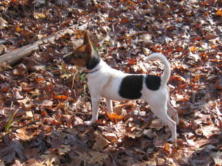 Cute And Cuddly Rat Terrier Puppies 4 Sale - Dog Breeders