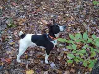 Feist Nicodemis Johnson - Dog Breeders