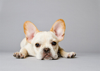 MAGNUM FRENCH BULLDOGS - Dog Breeders