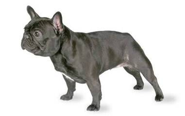 Moval Frenchies - Dog Breeders