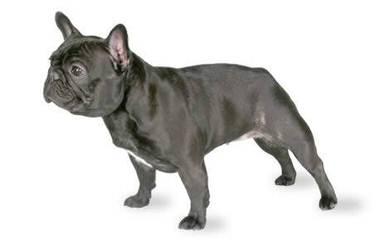 Santiago Bulldogs - Dog Breeders