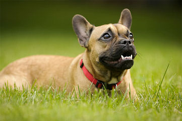 Brads Bullies - Dog Breeders