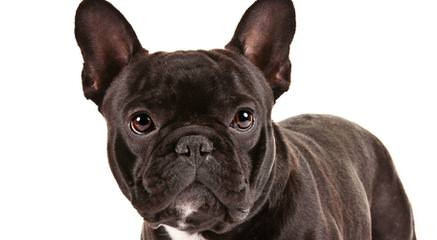Frenchbo Puppies Now Available! - Dog Breeders