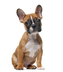 Funtimes French Bulldogs - Dog Breeders