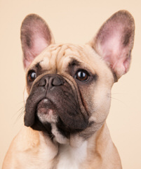 Fantastic Frenchies - Dog Breeders
