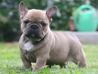 French Bull Dog Stud Service - Dog Breeders