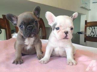 Smart Puppies Home - Dog Breeders