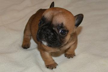 Smug Mug French Bulldog - Dog Breeders