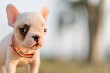 Miami Frenchies - Dog Breeders
