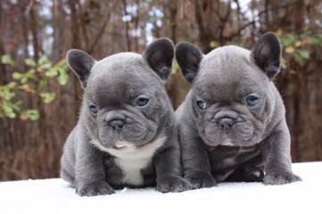 Divana Divane - Dog Breeders