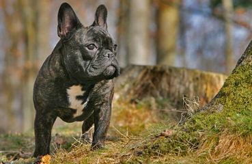 Action Alet French Bulldog Puppy - Dog Breeders