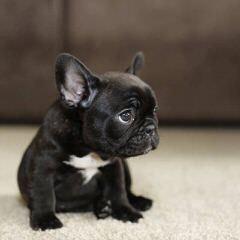 French Bulldog Stud-Orlando, Fl - Dog Breeders