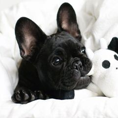 Fantastic Frenchies - Dog and Puppy Pictures