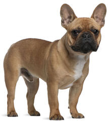 Action Alet French Bulldog - Dog Breeders