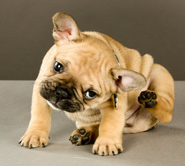 Cream French Bulldog Puppy For Sale - Dog Breeders