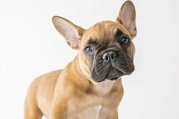 Carpe Diem Bulldog Kennel - Dog Breeders
