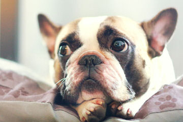 French Bulldogs - Dog Breeders