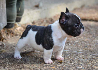 French Bulldog Stud-Orlando, Fl - Dog Breeders