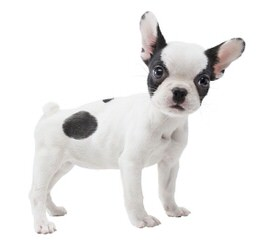 Eugenie - Dog Breeders