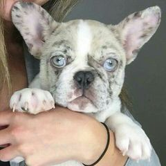 Miami Frenchies - Dog and Puppy Pictures