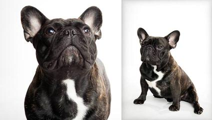 Action Alet French Bulldog Puppy - Dog Breeders