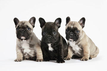 Friendly Frenchies - Dog Breeders