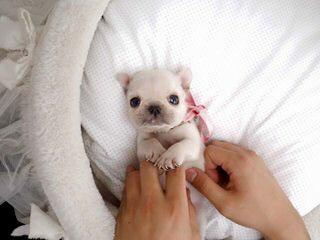 French Bulldogs - Dog Breeders
