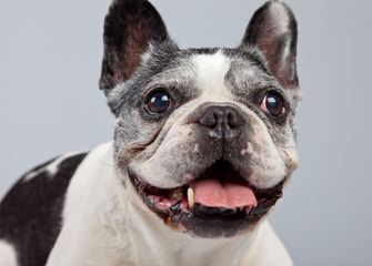 Akc Champion Bred All Star French Bulldogs - Dog Breeders