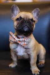 Rodbulls French Bulldogs - Dog Breeders