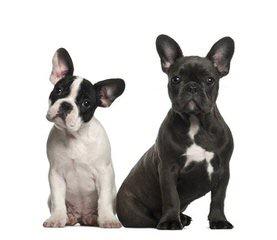 ANIMA CANIS – French Bulldog Kennel - Dog Breeders