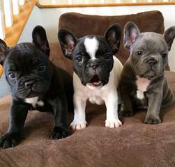 Outstanding Quality English & French Bulldog Puppies - Dog Breeders