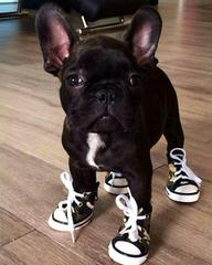 Puppy Love French Bulldogs - Dog Breeders