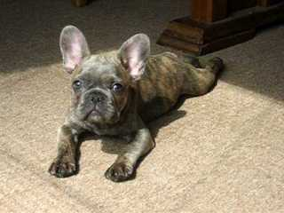 French Bulldog Pied For Stud - Dog Breeders