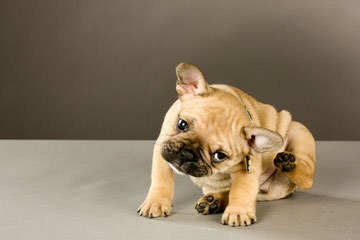 Frenchies 2 Luv - Dog Breeders