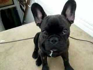 Frustyle Frenchies Russia - Dog Breeders