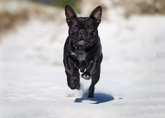 Maximumbull English & French Bulldogs 24 Years Of Breeding Exceptionnel Dogs - Dog Breeders