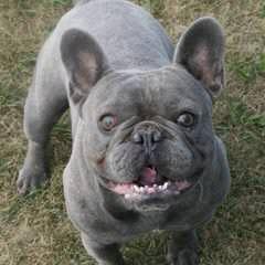 FrenchbullRUS - Dog Breeders