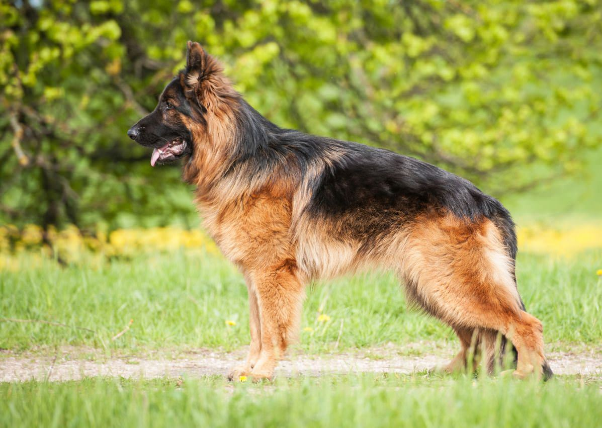 German Shepherd Dog Dogs and Puppies