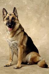 ALLE STERNE GERMAN SHEPHERDS - Dog Breeders
