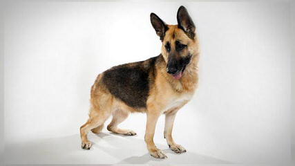 Berger Allemand du Nord Québec - Dog Breeders