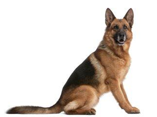 Von Willnic German Shepherds - Dog and Puppy Pictures