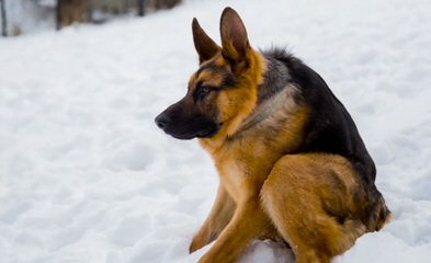 Hunt German Shepherd - Dog Breeders